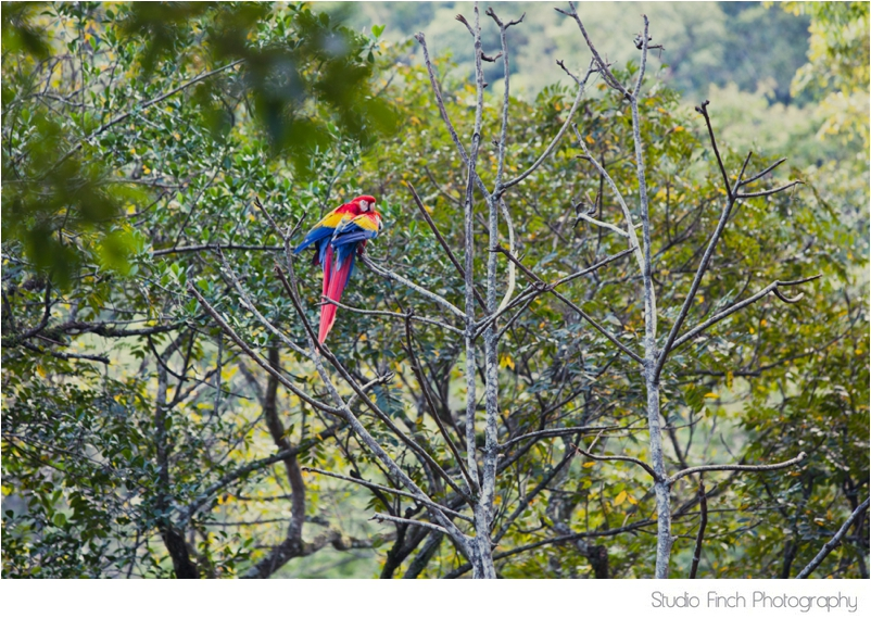 Macaw Copan Ruinas in Honduras Travel Photography